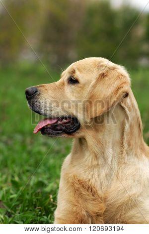 The Puppy Golden Retriever