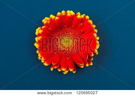 Bicolor Red Yellow Gerbera Daisy, On Blue Background