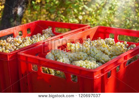 Vintage, Grape Harvest