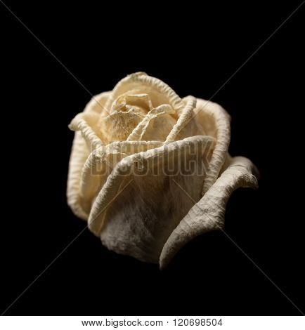 Withered White Rose On Dark Background