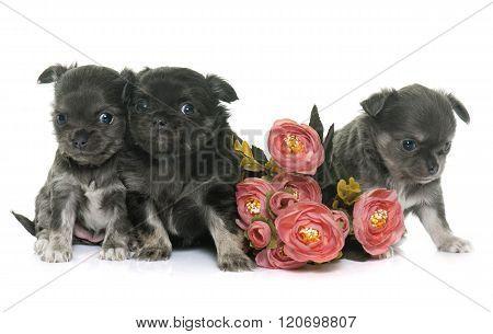 Puppies Longhair Chihuahua