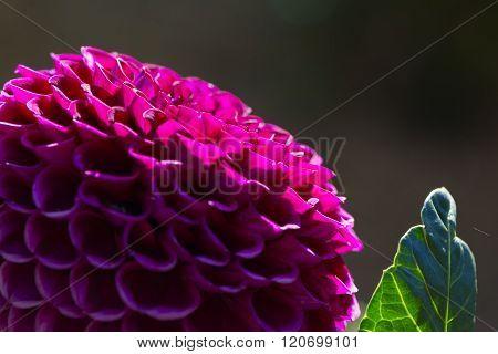 Dark Pink Ivanetti Dahlia