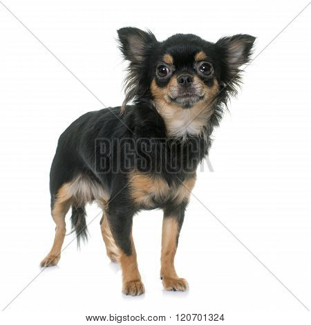 Young Longhair Chihuahua
