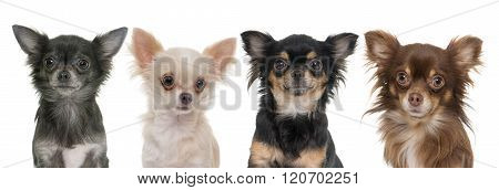 Young Longhair Chihuahuas