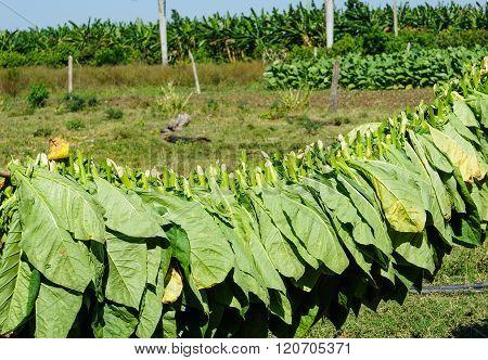 Tobacco Leaves Harvest