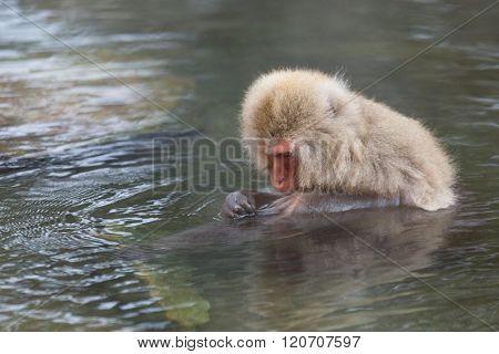 Monkey enjoy onsen