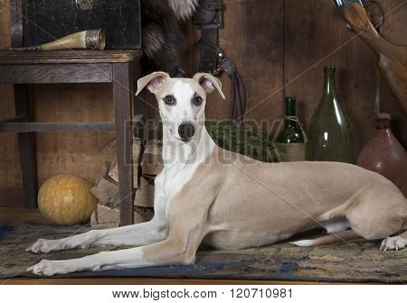 Portrait Of Eight Months Old Whippet Dog