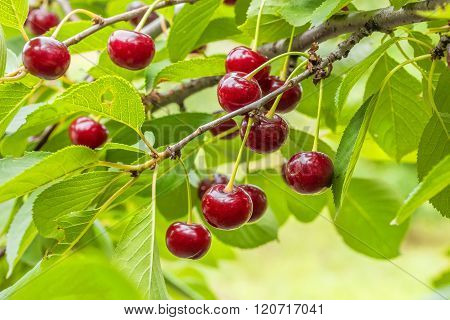 Burgundy Cherries On A Branch With Leaves, Close Up