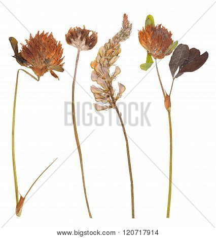 Set Of Wild Dry Pressed Flowers And Leaves
