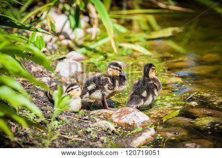 Three Mallard Ducklings