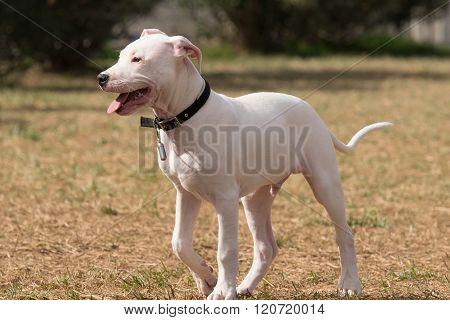 Puppy Dogo Argentino dog portrait.