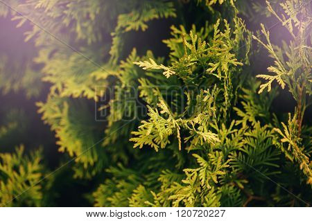 Thuya Tree Green Leaves Close-up