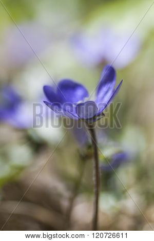 a single flower blur blossoming on  a blue anemone plant
