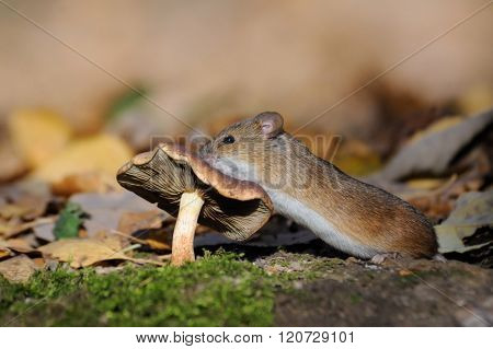 Striped Field Mouse Climbs On Mushroom