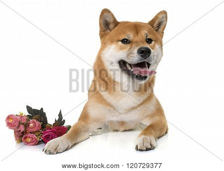 Young Shiba Inu And Flower