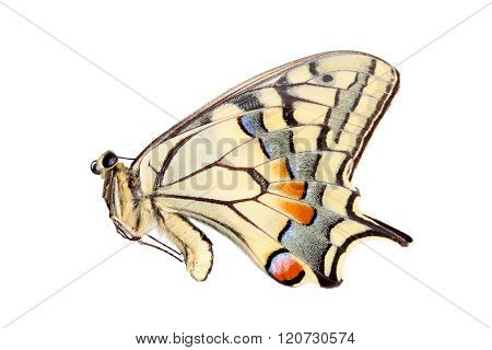 Common yellow swallowtail isolated on white background