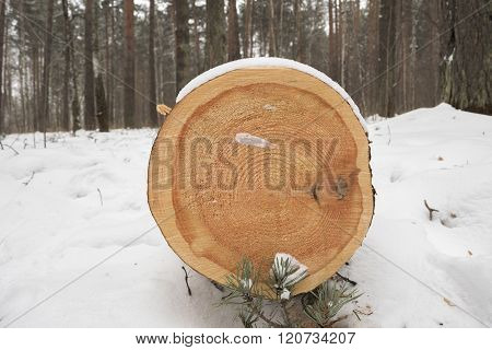 cut felled pine trees in the forest