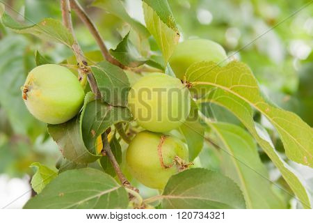 Green Apples Ripen On The Branch Of Tree