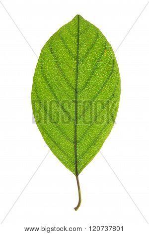 Green leaf of Alder Buckthorn isolated on white