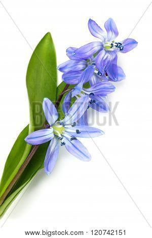 Flowers Blue Snowdrop.