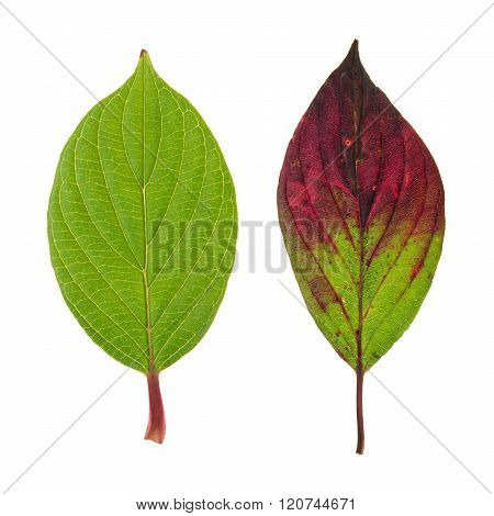 Autumn and green leaf of Roughleaf Dogwood isolated on white