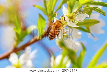 Closeup photo of little bee on blooming fruit tree, honeybee pollinating apple tree and collects pollen from flowers, beauty of spring nature