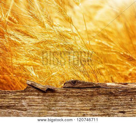 Cornfield, Golden Ears Behind Wooden Board
