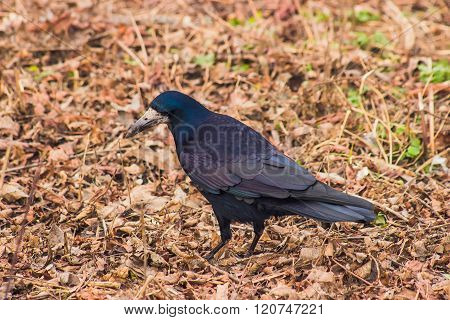 Crow walking on the street at leaves