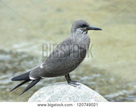 Juvenile Inca Tern (larosterna Inca)