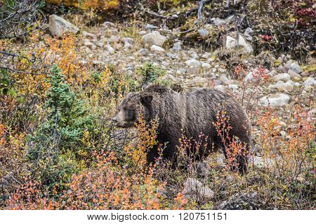 The large brown clumsy bear goes on autumn wood in search of food. Jasper national park, Canada