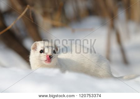 Least Weasel In Winter Forest
