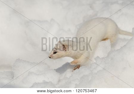 Winter Least Weasel Running In Snowdrift
