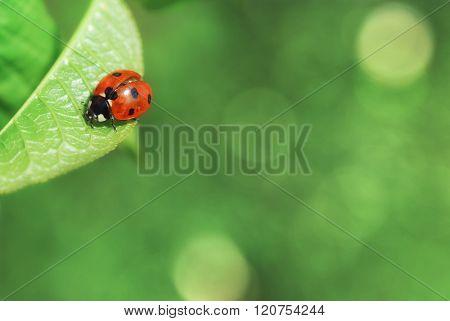 Ladybird on leaf. Background