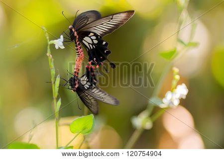 Couple of tropical butterflies, Papilio Helenus, breeding, Thailand