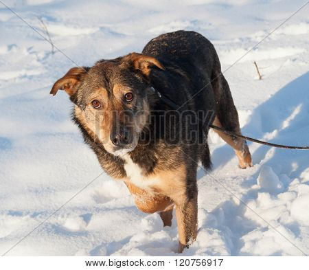 Brown Mongrel Dog In Snow