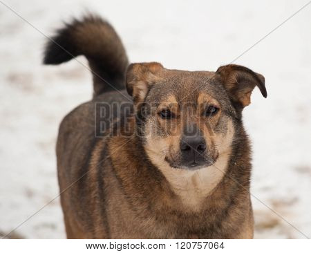 Brown Mongrel Dog Going On Snow
