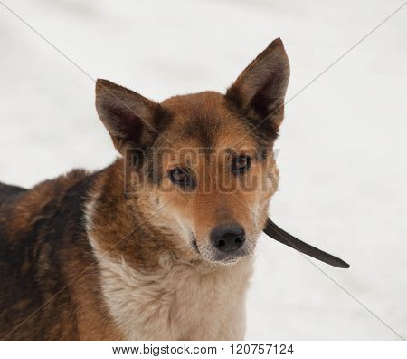 Red Mongrel Dog Standing In Snow