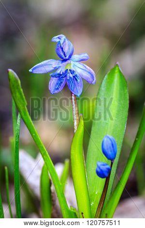 Beauty in nature - spring flowers scilla bifolia
