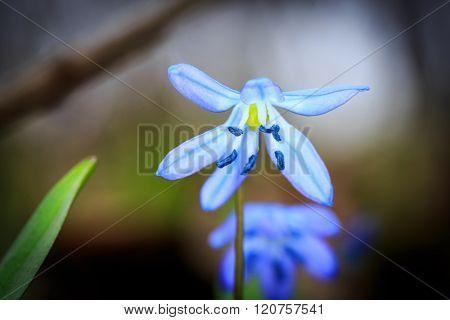 blue wild flowers scilla bifolia in spring forest