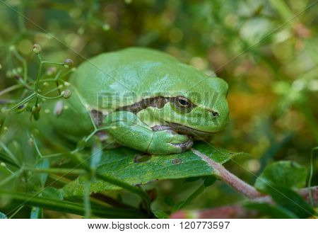 European Tree Frog On A Green Leaf