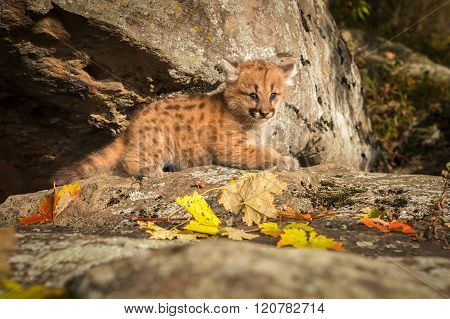 Female Cougar Kitten (puma Concolor) Looks Out From Ledge