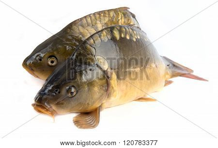 Mirror Carp - Weighing 3 Pounds Of Fish