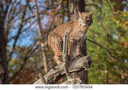 Bobcat (lynx Rufus) Balances On Branch