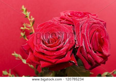 Three pink rose flowers in front of a pinkish colored background.