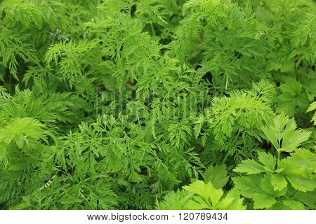 green carrots plants in growth at garden