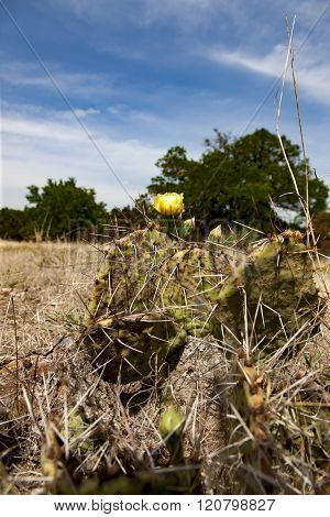 Prickly Pear Cactus plant blossom in Texas
