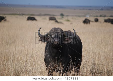 Innocent buffalo quietly grazing in african savannah