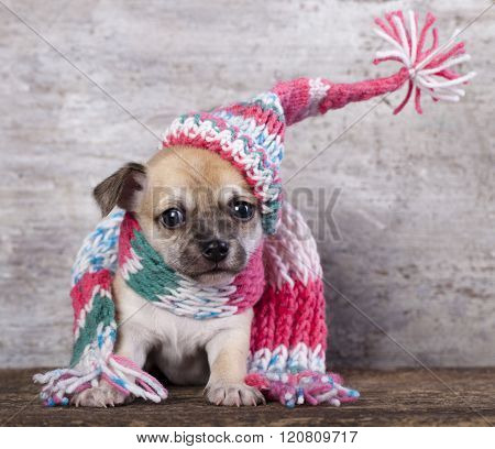Happy Puppy Chihuahua in hat knit