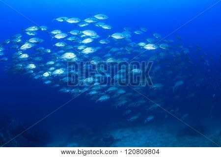 Fish school Trevally and tuna fish
