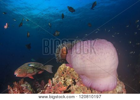 Sea Anemone on coral reef with fish